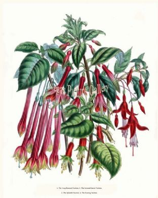 Fuchsia, Long-flowered; Serrated-leaved Fuchsia